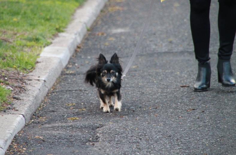 Lubi the Chihuahua