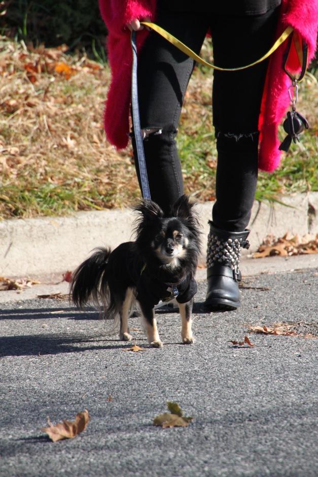 Lubi Chihuahua